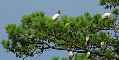 Photograph - Roosting Wood Storks by Bill Barber