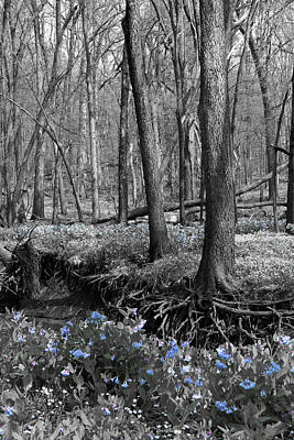 Photograph - Rooted Bluebells by Dylan Punke