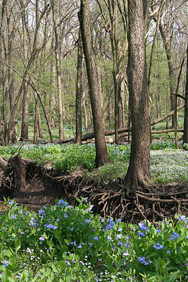 Photograph - Rooted Bluebells Full Color by Dylan Punke
