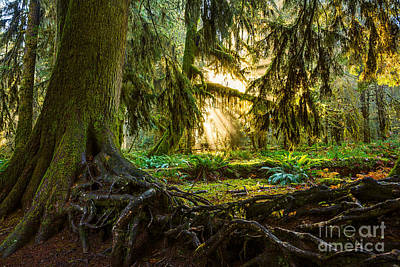 Olympic National Park Photograph - Roots And Light by Jamie Pham