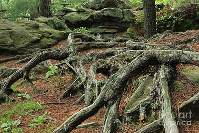 Photograph - Roots On The Forest Floor by E B Schmidt