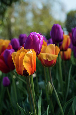 Photograph - Roozengaarde Tulips by Robert Potts