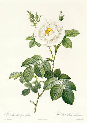 Natural Drawing - Rosa Alba Flore Pleno by Pierre Joseph Redoute