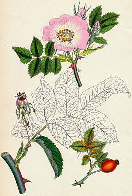 Flower Still Life Drawing - Rosa Canina Common Dog Rose by Unknown