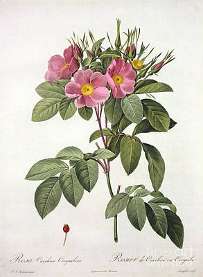 Natural Drawing - Rosa Carolina Corymbosa by Pierre Joseph Redoute