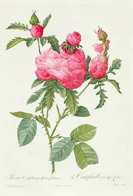 Rosebud Drawing - Rosa Centifolia Prolifera Foliacea by Pierre Joseph Redoute