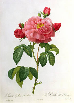 Cutting Drawing - Rosa Gallica Aurelianensis by Pierre Joseph Redoute