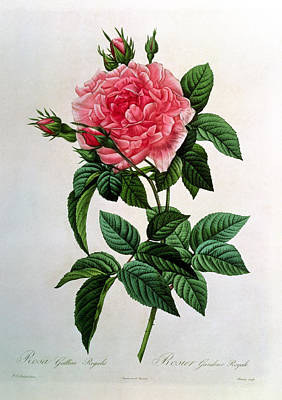 Engraving Drawing - Rosa Gallica Regallis by Pierre Joseph Redoute