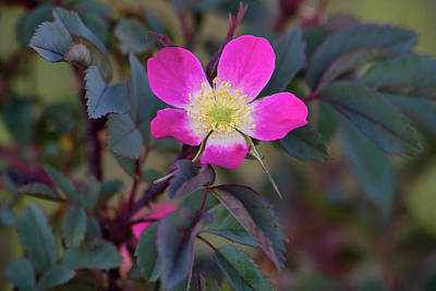 Photograph - Rosa Glauca by Alana Thrower