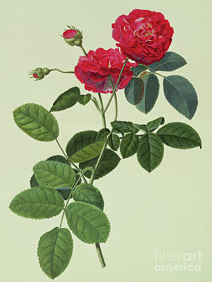 Cut Flowers Painting - Rosa Holoferica Multiplex by Georg Dionysius Ehret