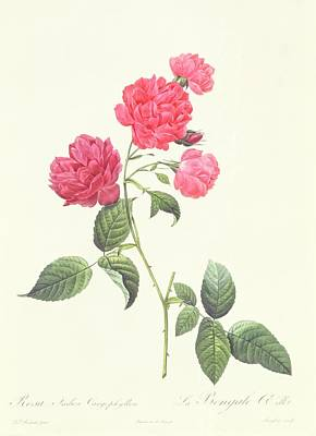 Botanical Drawing - Rosa Indica Caryophyllea by Pierre Joseph Redoute