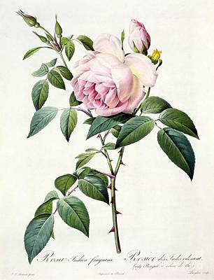 Thorns Wall Art - Drawing - Rosa Indica Fragrans by Pierre Joseph Redoute