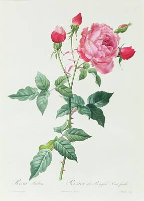 Rosa Indica Art Print by Pierre Joseph Redoute