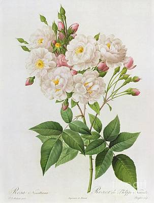 Bush Painting - Rosa Noisettiana by Pierre Joseph Redoute