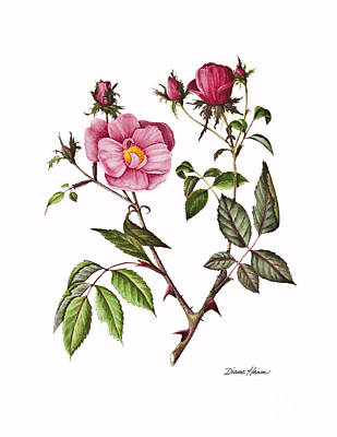 Painting - Rosa 'radcon' by Diane Harm
