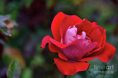 Photograph - Rosa Roja Para Ti by Diana Mary Sharpton