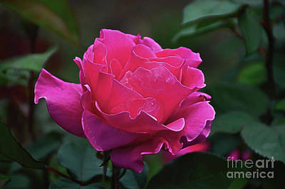 Photograph - Rosa Scuro by Diana Mary Sharpton
