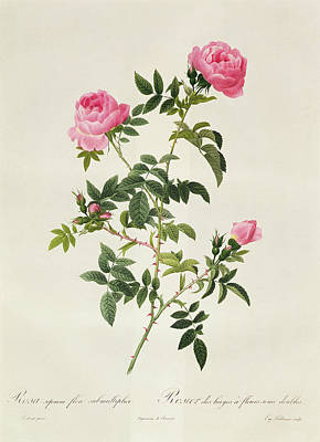 Botanical Drawing - Rosa Sepium Flore Submultiplici by Pierre Joseph Redoute