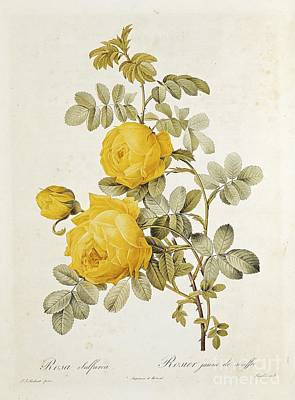 Yellow Flower Drawing - Rosa Sulfurea by Pierre Redoute