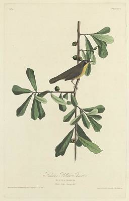Yellow Beak Drawing - Roscoe's Yellow Throat by Dreyer Wildlife Print Collections
