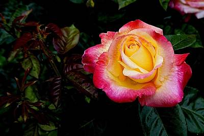 Photograph - Rose 1 by Nick Kloepping