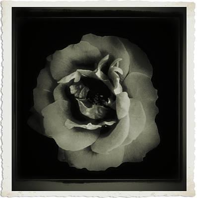 Rose 12 Art Print