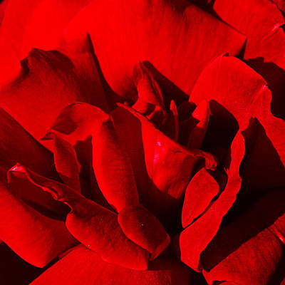 Photograph - Rose 2 by Anthony Jones