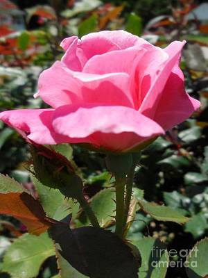 Pink Photograph - Rose Too by Eloise Schneider