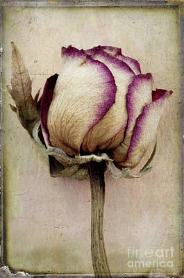 Photograph - Rose 2 by Marion Galt