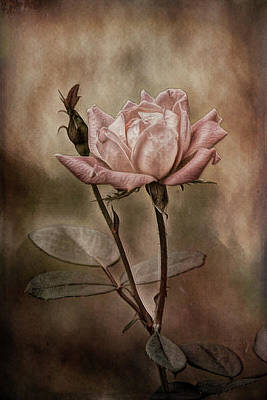 Photograph - Rose 3 by Patricia Cale