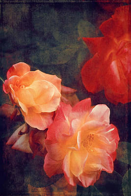 Photograph - Rose 358 by Pamela Cooper