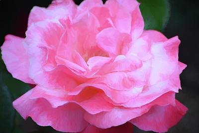 Photograph - Rose 384 by Pamela Cooper