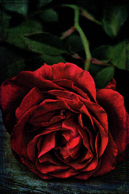 Photograph - Rose 385 by Pamela Cooper