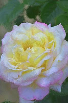 Photograph - Rose 386 by Pamela Cooper