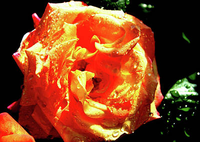 Photograph - Rose-4 by Anand Swaroop Manchiraju