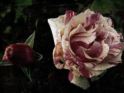 Photograph - Rose 4 by D A Metrov