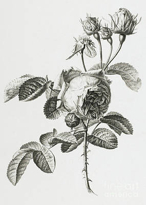 Nature Study Drawing - Rose A Cent Feuilles by Gerard van Spaendonck