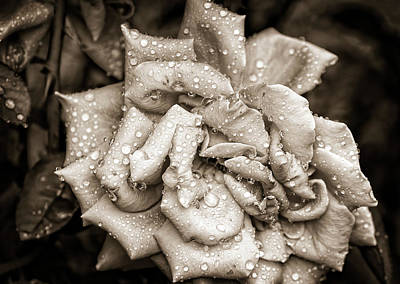 Photograph - Rose After The Rain by Amber Flowers
