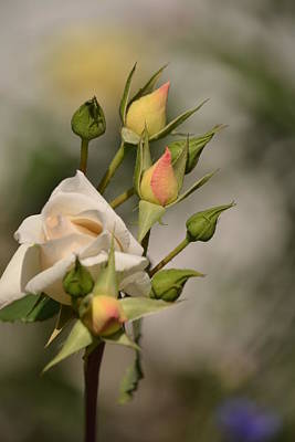 Photograph - Rose And Buds by Atul Daimari