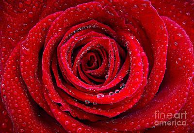 Rosebud Photograph - Rose And Drops by Carlos Caetano