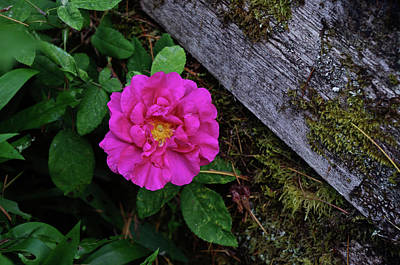 Photograph - Rose And Moss by Adria Trail