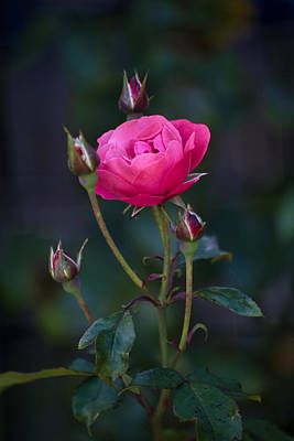 Photograph - Rose And Rosebuds by Keith Boone