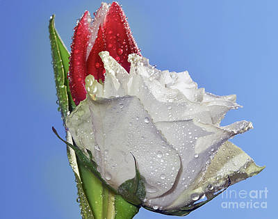 Art Print featuring the photograph Rose And Tulip by Elvira Ladocki
