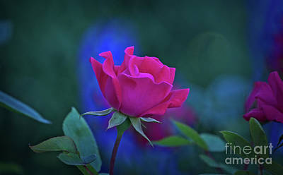 Photograph - Rose At Twilight by Mary Machare
