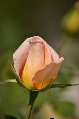 Photograph - Rose by Atul Daimari