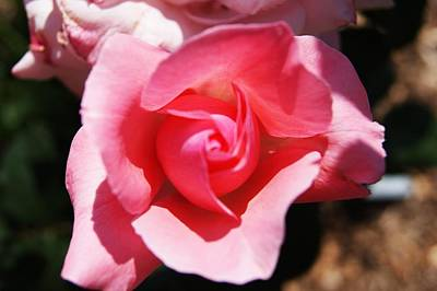 Photograph - Rose B by Joe Faherty