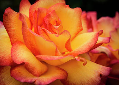 Photograph - Rose Beauty by Jean Noren