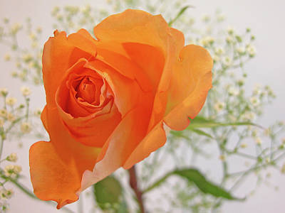 Photograph - Rose Beauty by Ree Reid