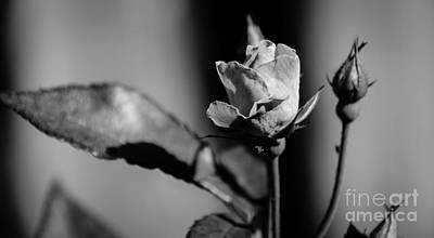Photograph - Rose Black And White by Andrea Anderegg