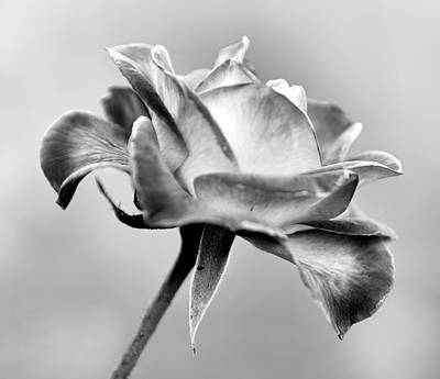 Photograph - Rose Bloom In B W by Patricia Sanders